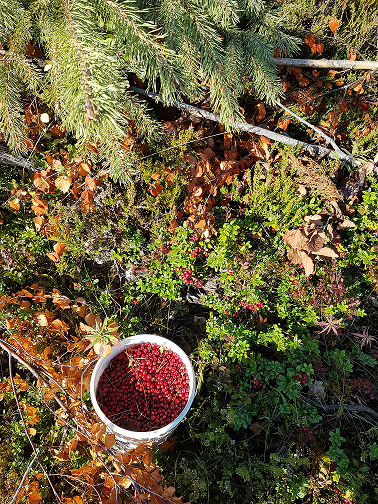 In the forest lingonberry