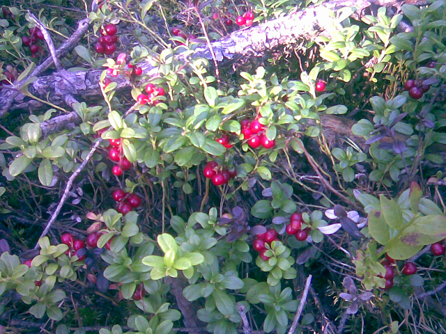 Cowberries are healthy also for immunity